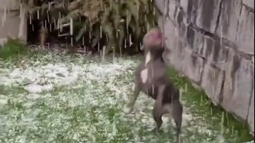 French bulldog battles with a hailstorm