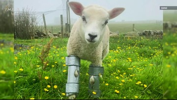 Adorable Lamb Gets Homemade 'Bionic' Legs