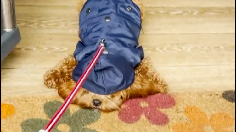 When the Raincoat Comes Out This Funny Pup Refuses to Go Out in the Rain