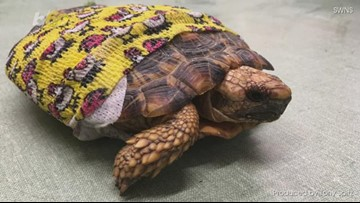 Get the Shell Outta Here! Fashionable Tortoise Sports Yellow, Printed Bandage After Life-Saving Surgery