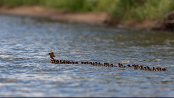 Man snaps photo of mama duck with 76 ducklings