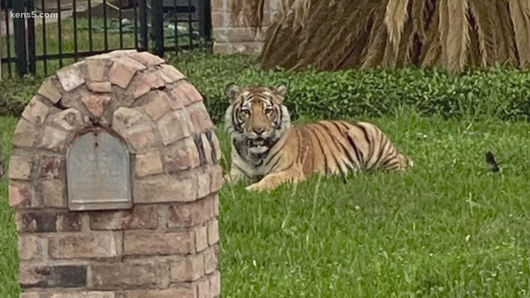Owner of tiger seen roaming Houston neighborhood now arrested, but tiger is still missing