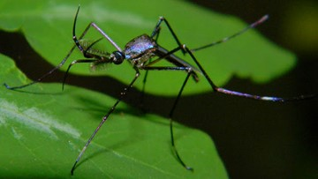 Flying assassins: Elephant mosquitoes unleashed in Houston to target evil counterparts