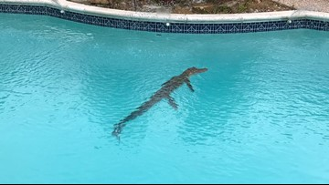 Sugar Land homeowners find 4-foot gator taking a dip in their pool