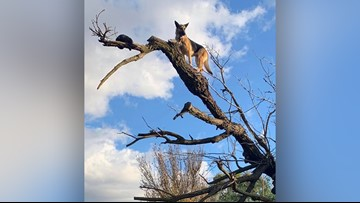 Calif. firefighters rescue German Shepherd that chased cat up a tree