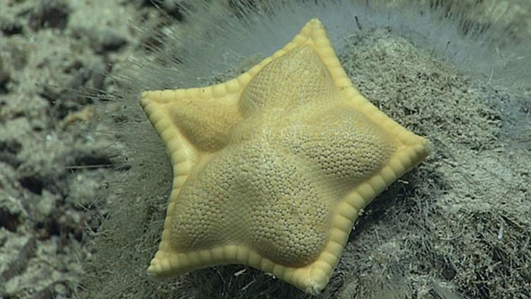This 'ravioli' starfish looks just like stuffed pasta but don't eat it