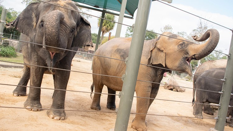 BIG, BIG news: Mother and daughter elephants at Houston Zoo expecting babies this spring