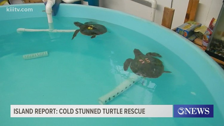 The Island Report: Flying turtles get new lease on life at Texas Sealife Center