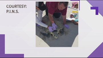 Kemp's Ridley sea turtles found at Padre Island National Seashore