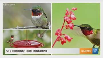 STX Birding - Humming Birds