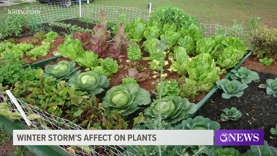 South Texas Gardener: What to do about freeze damaged plants