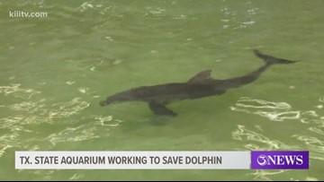 Texas State Aquarium staff working to rehabilitate rescued dolphin