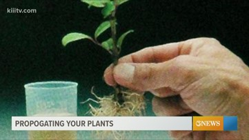South Texas Gardener - Cuttings and cloning