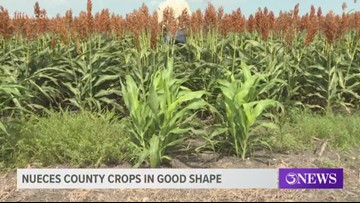 Nueces County crops in good shape for 2019 harvesting season