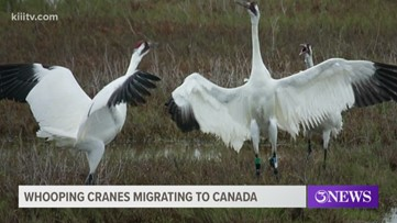 Whooping cranes migrating to Canada