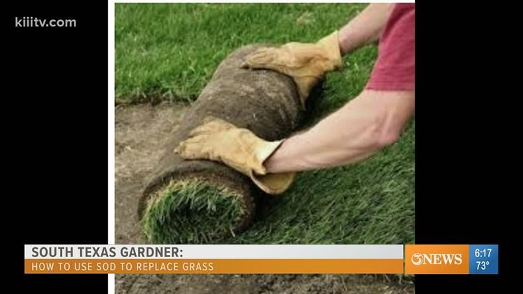South Texas Gardener - replacing dead grass