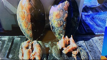 Killing endangered green sea turtles among violations discovered in Operation Reel It In