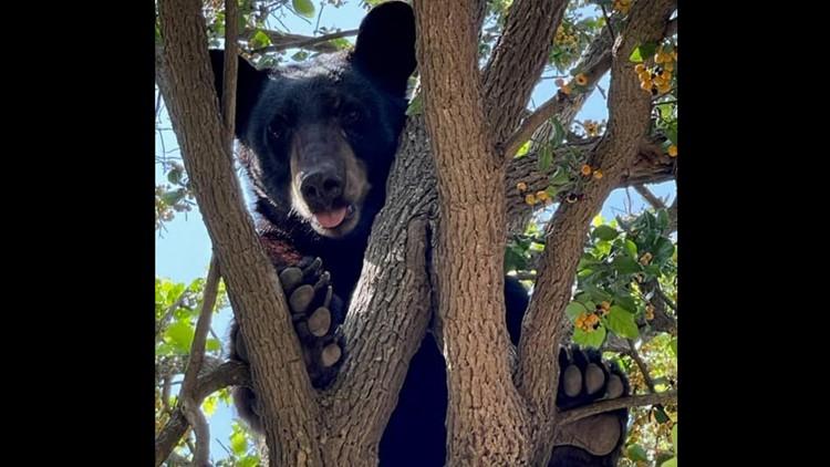 Rare Black Bear found in a tree in Laredo