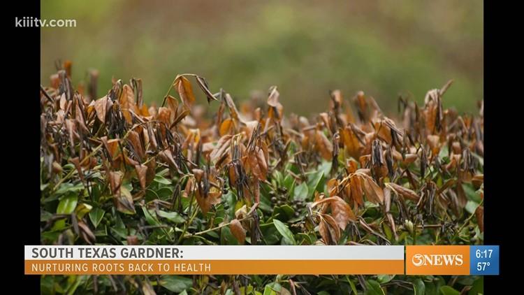 South Texas Gardener - nurturing roots of freeze damaged plants
