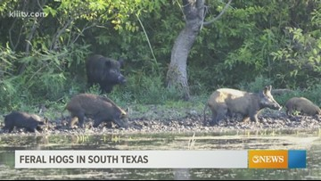 Expert says feral hogs causing more than $400 million in damage per year