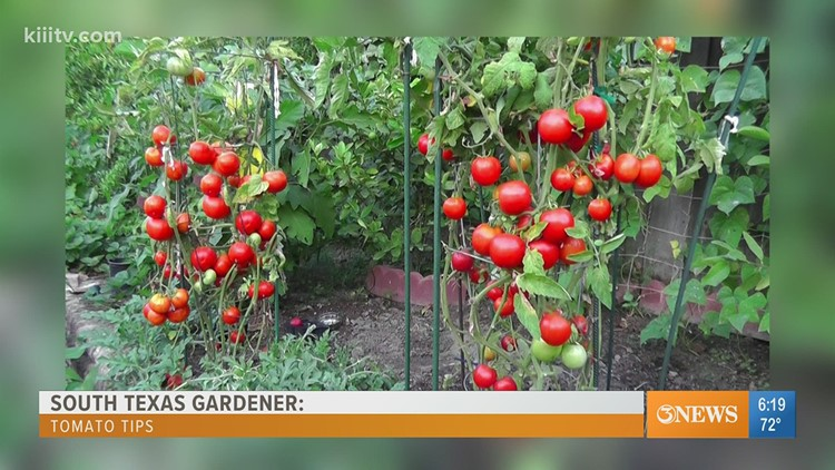 South Texas Gardener - starting tomato plants