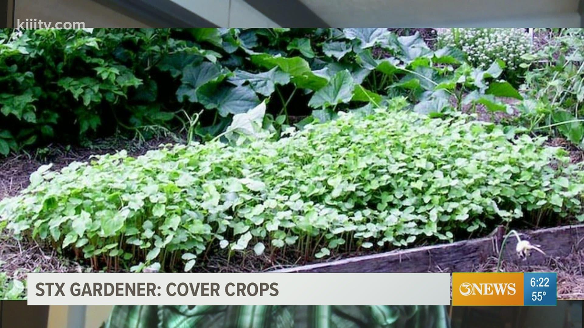 South Texas Gardener How Cover Crops Improve Your Garden Kiiitv Com