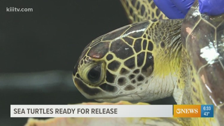 First Edition: Sea Turtles ready to go back home