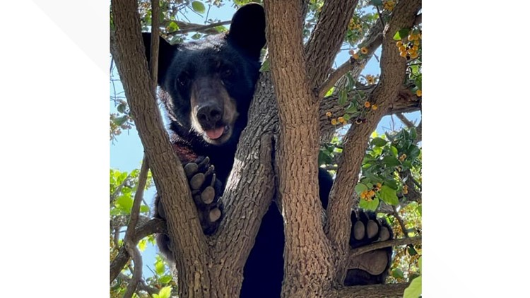 SPOTTED: Rare Black Bear found in a tree north of Laredo