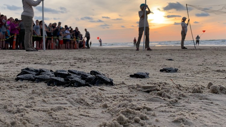 More than 800 in attendance for first Kemp's Ridley sea turtle release of the season