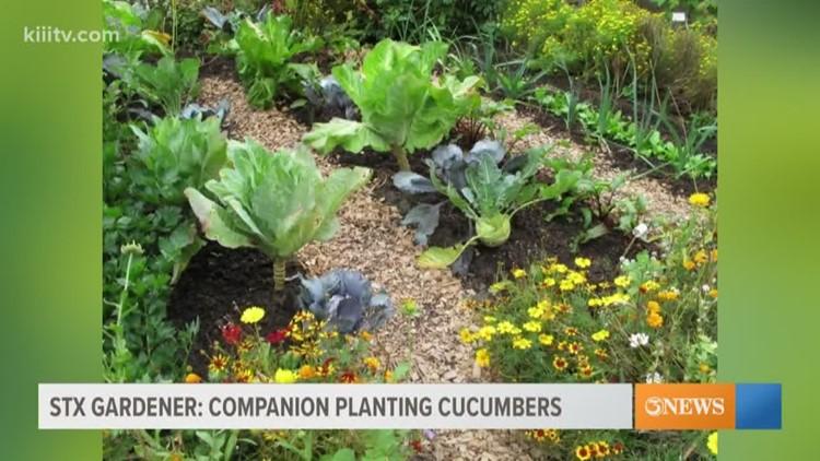 STX Gardener: Companion planting cucumbers