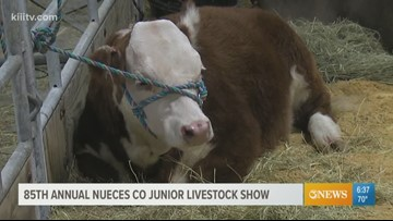 Saturday last day for the Nueces County Junior Livestock Show