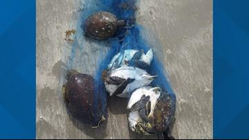 Texas Game Wardens offer reward for information regarding six killed green sea turtles