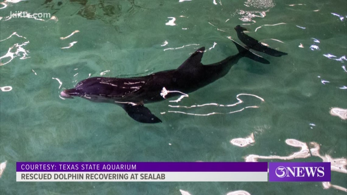 Rescued bottlenose dolphin being rehabilitated at Texas State Aquarium