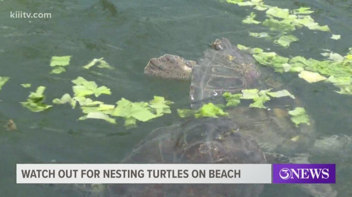 Beachgoers warned to watch out for nesting sea turtles