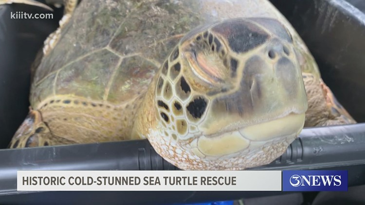 Recent freeze caused largest cold-stunned sea turtle event in recorded history, preliminary numbers say