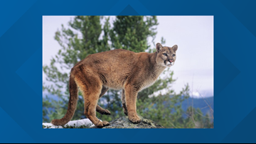 Hunter kills adult mountain lion after it attacked and ate a pet dog near Cascade