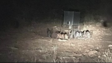 Texas law allows anyone to hunt feral hogs without a license on private property with consent