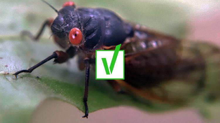 Yes, Brood X cicadas are edible for humans and pets