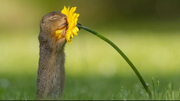 Nature photographer captures a squirrel smelling a flower