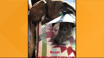 Severely abused dog, Bogey, showing signs of improvement after surgery