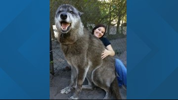 'Yuki' the wolf-dog captivates the world after sanctuary saves him from kill shelter