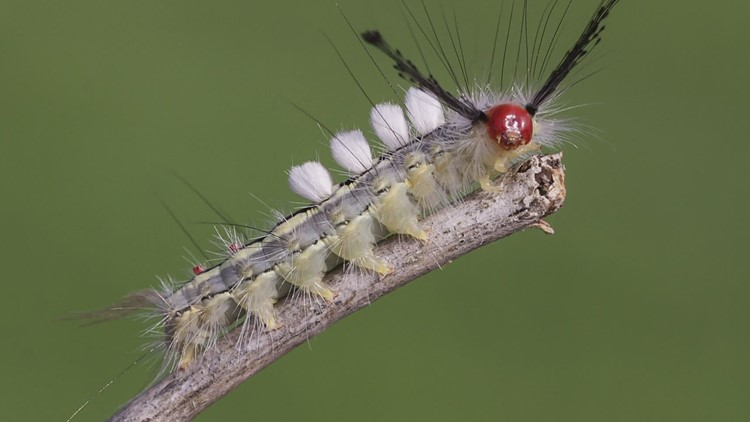 Health experts warns parents about 'fuzzy' caterpillars