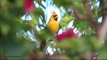 Woman captures astonishing photo of extremely rare yellow cardinal in Florida