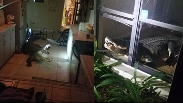 11-foot gator bursts through windows, into kitchen of Clearwater home